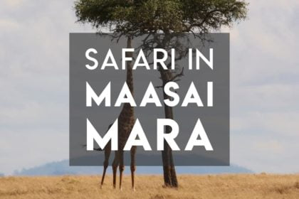 Safari in Maasai Mara Wildebeest Migration Giraffe eating from a tree