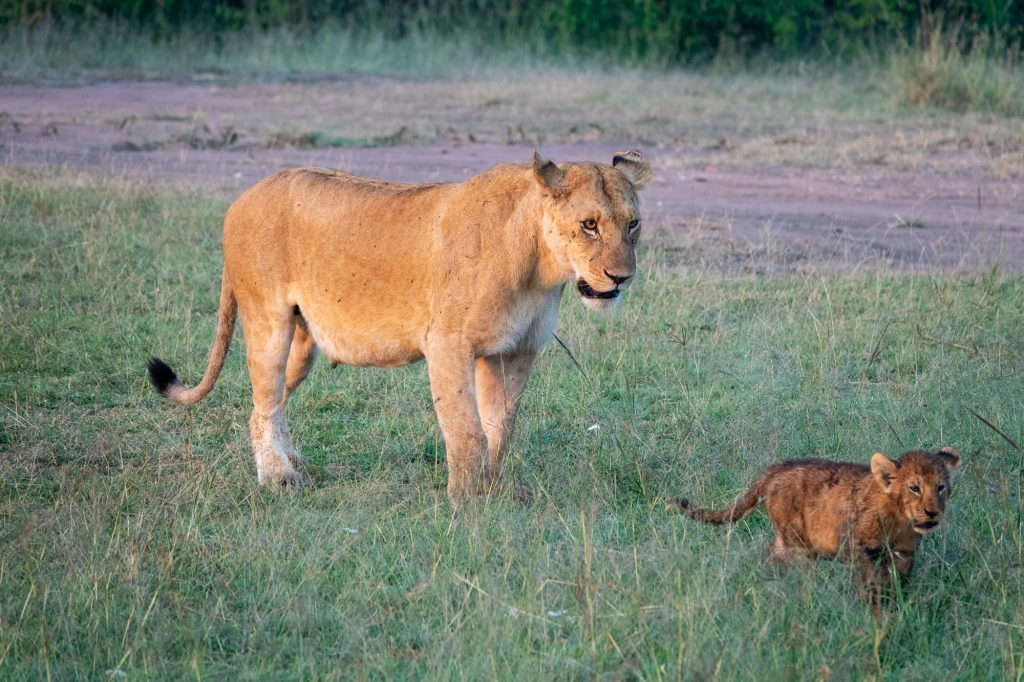 Mother lion and her cub walking in maasai mara on safari