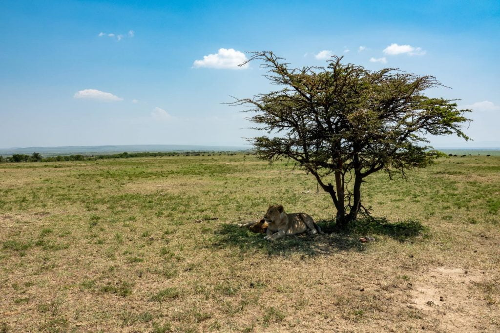 A pair of lions sleeping under a tree during a day