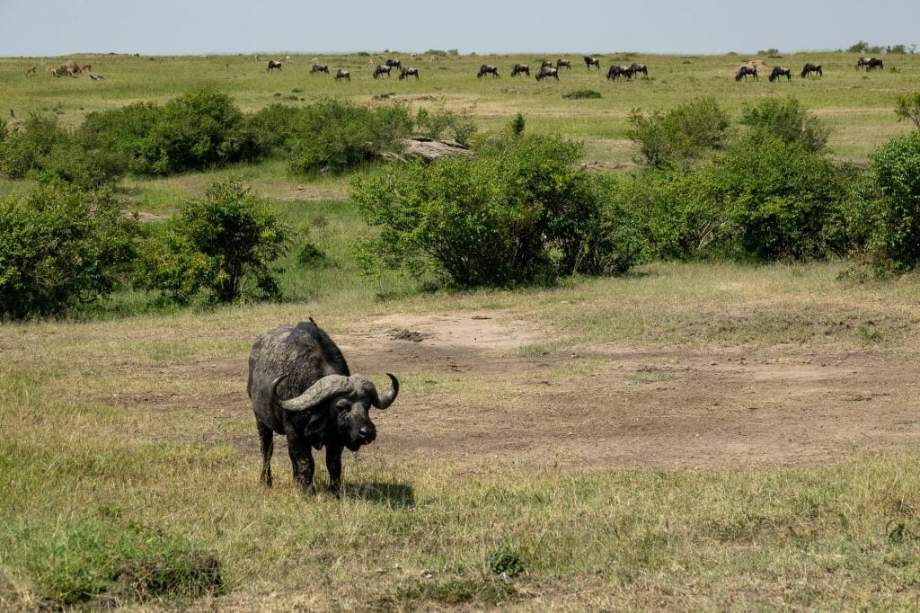 Buffalo seen on safari in the Maasai Mara