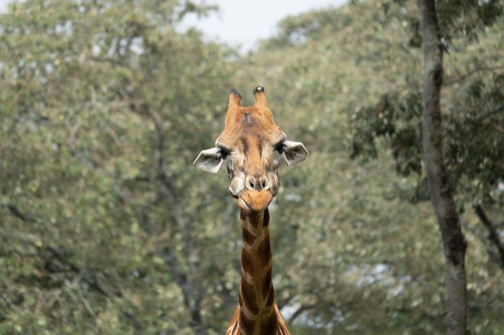 Safari in the Maasai Mara during the wildebeest migration - Giraffe funny facial expression