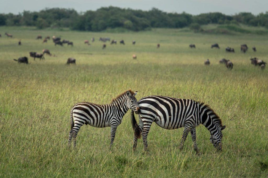 Zebra on safari in the Maasai Mara, Kenya