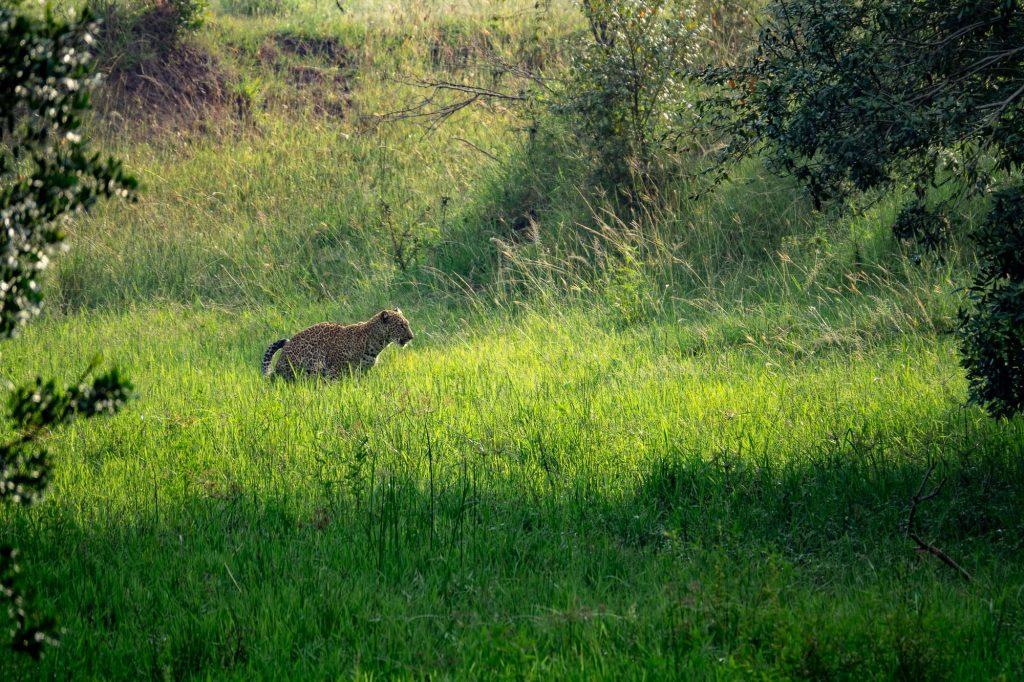 Leopard hiding in grass in the Maasai Mara, Kenya