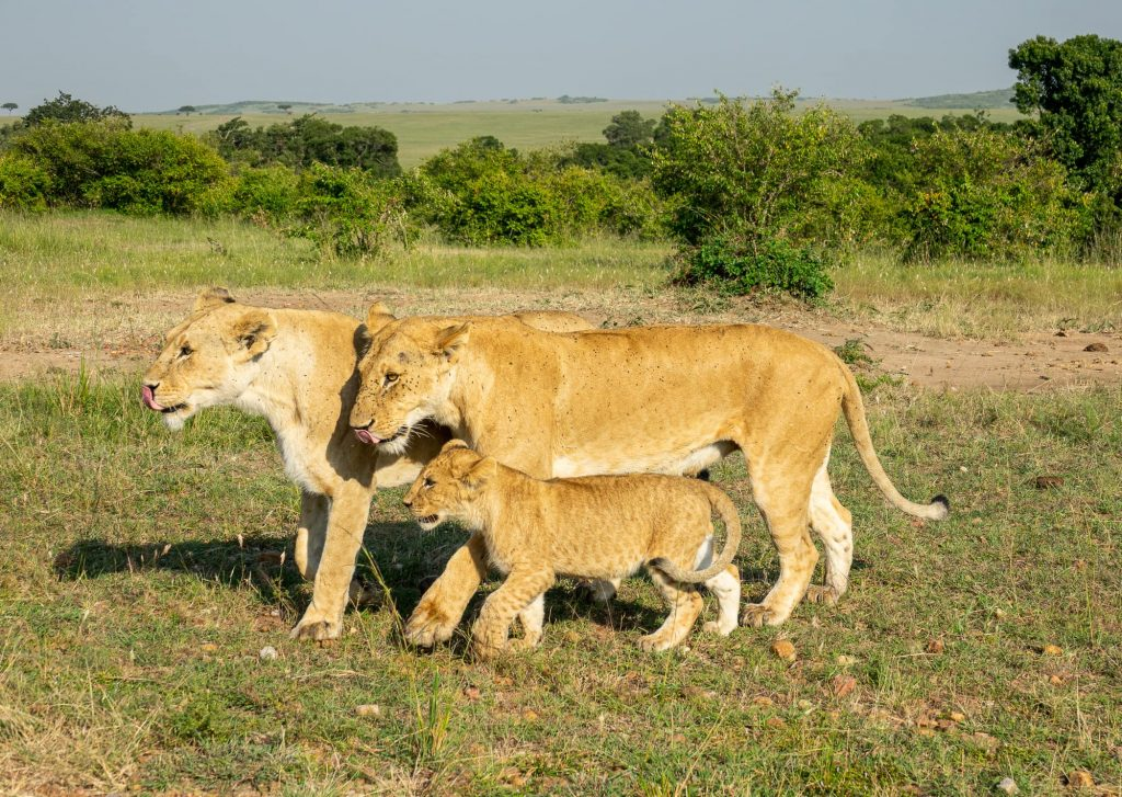Family of lions and cub walking in Maasai Mara - while on safari