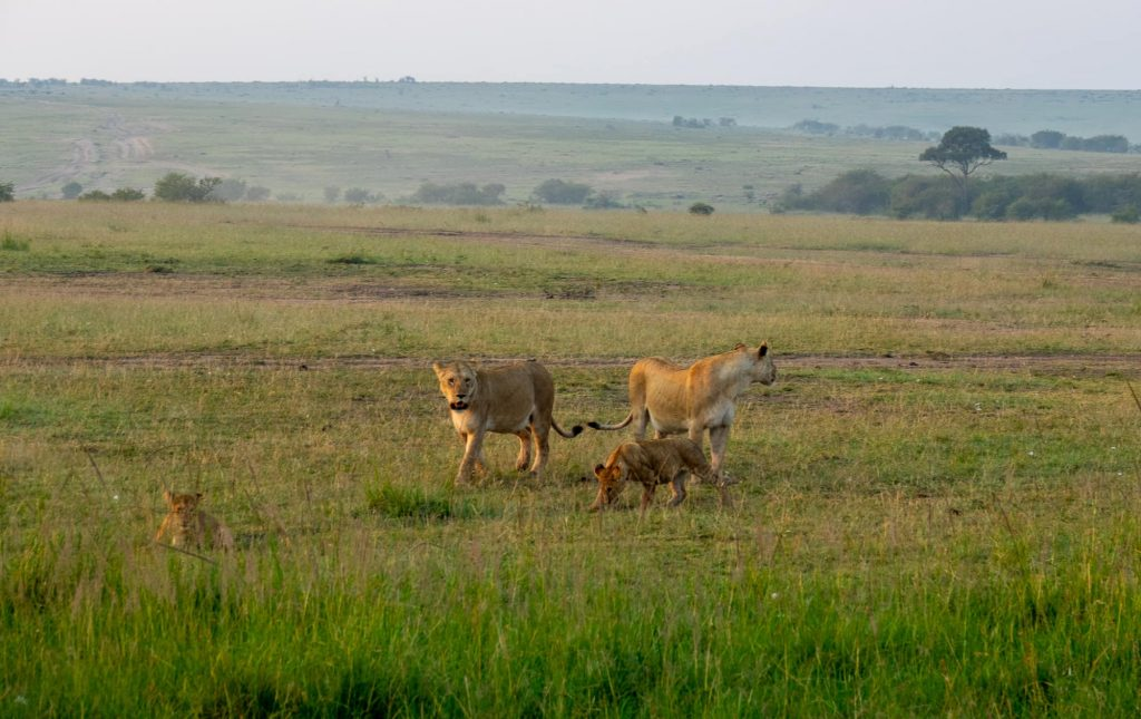 Family of lions walking in the Maasai mara - Safari