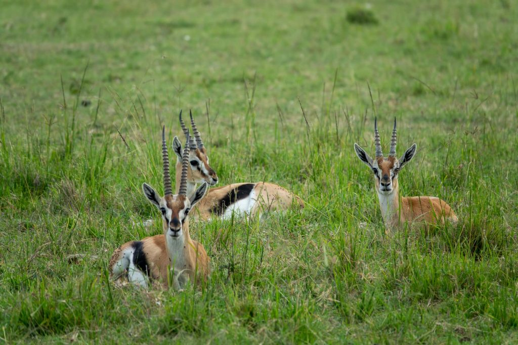 Gazelle (Swala Pala) in the grass, in Maasai Mara Kenya