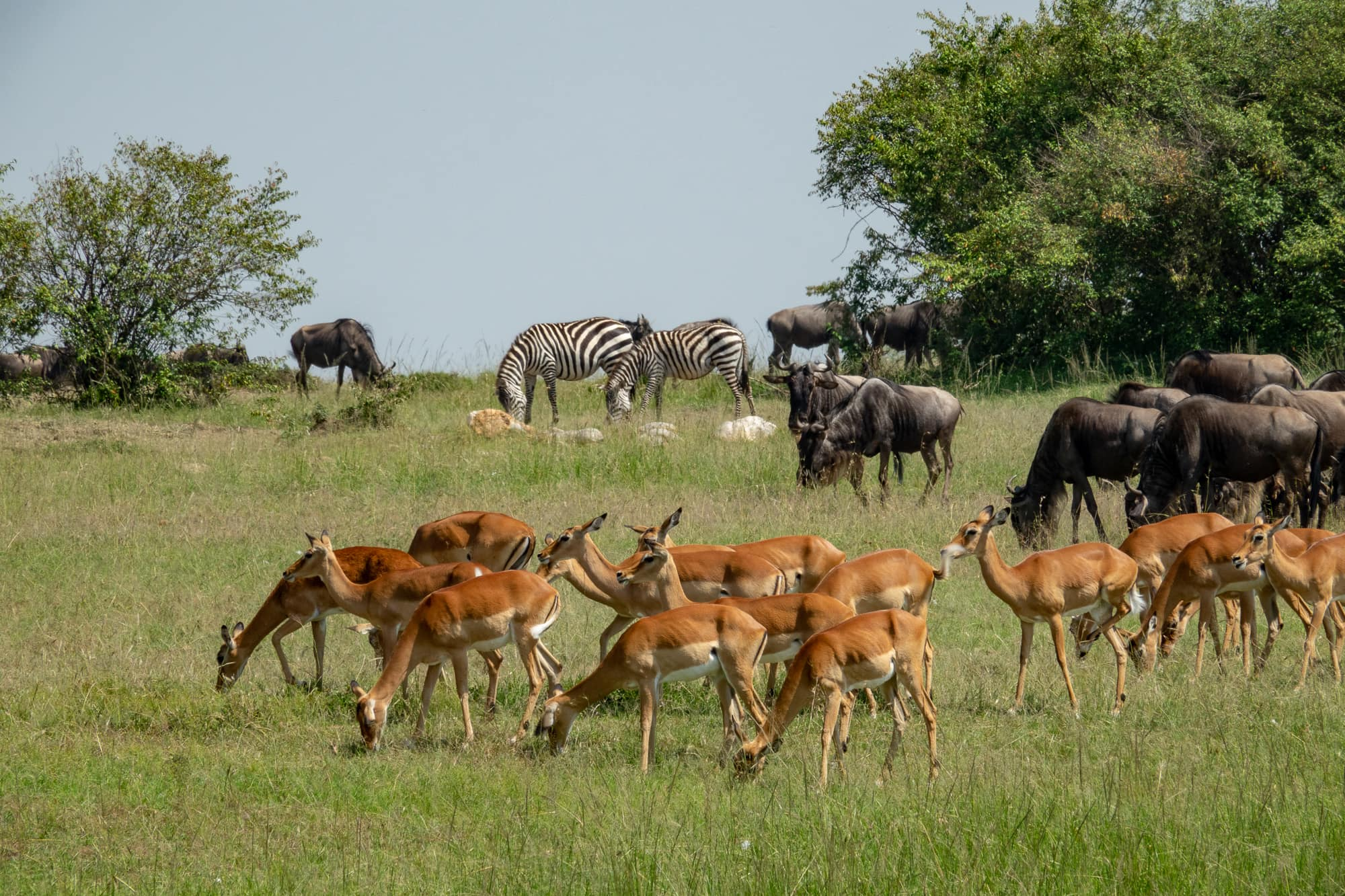 Antelope, wildebeest, zebra and warthogs, seen in the Wildebeest Migration in the Maasai Mara, Kenya