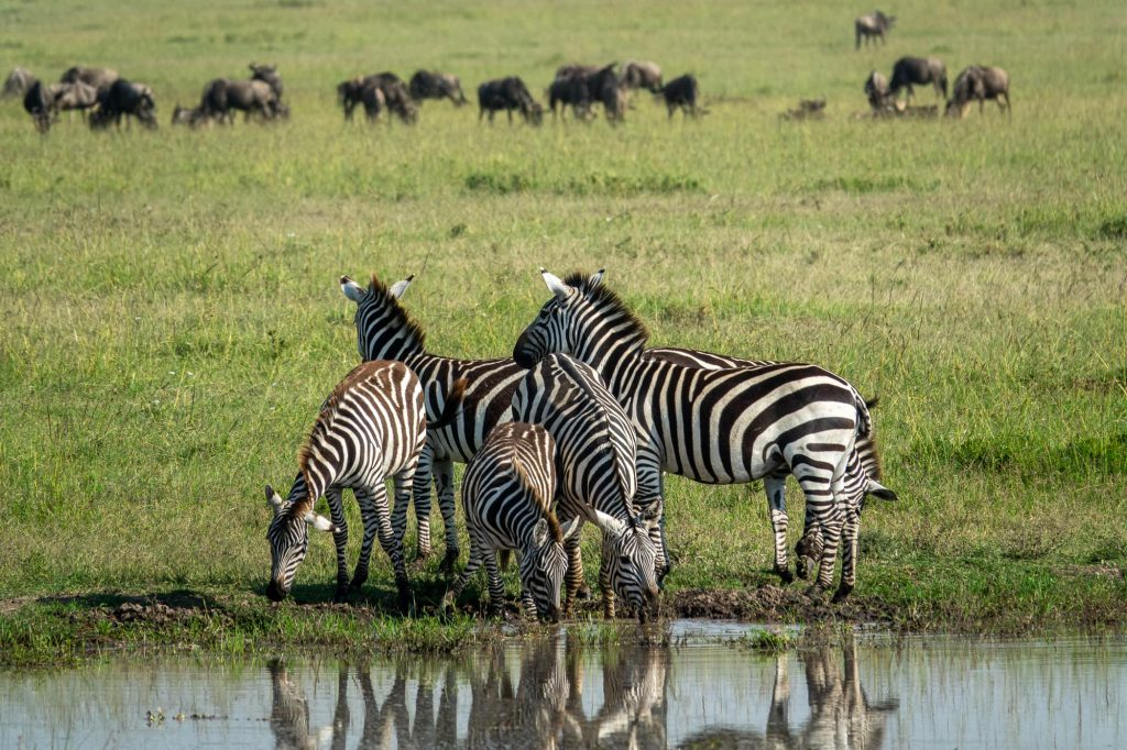 Safari in Maasai Mara Kenya - Zebra at a watering hole