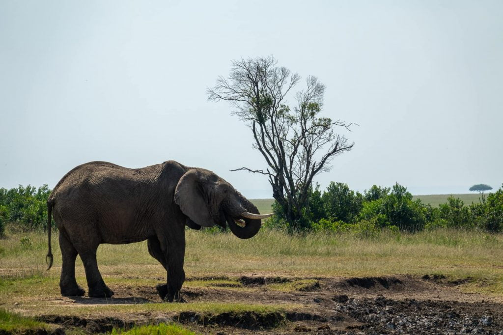 An elephant drinking water in the Maasai mara on safari