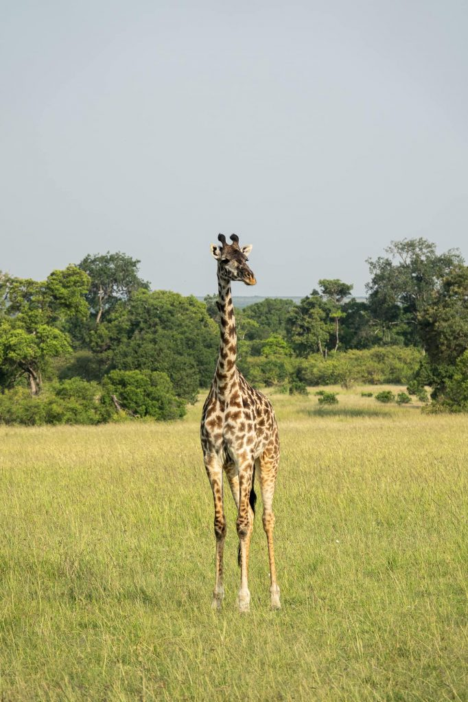 Safari in the Maasai Mara during the wildebeest migration - Giraffe foal