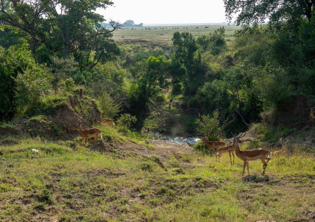 Gazelle (Swala Pala) - Maasai Mara - by a watering hole