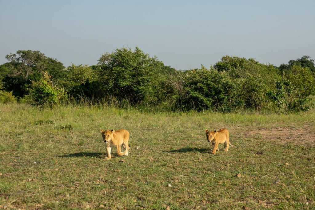 Two lion cubs, seen on safari in the Maasai Mar