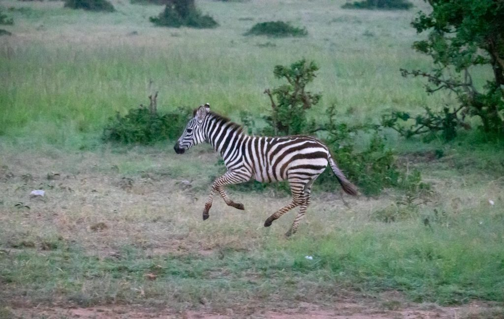 Zebra galloping on safari in the Maasai Mara, Kenya
