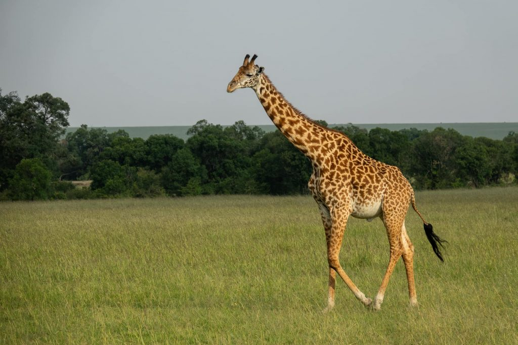 Safari in the Maasai Mara during the wildebeest migration - Giraffe walking in Maasai Mara