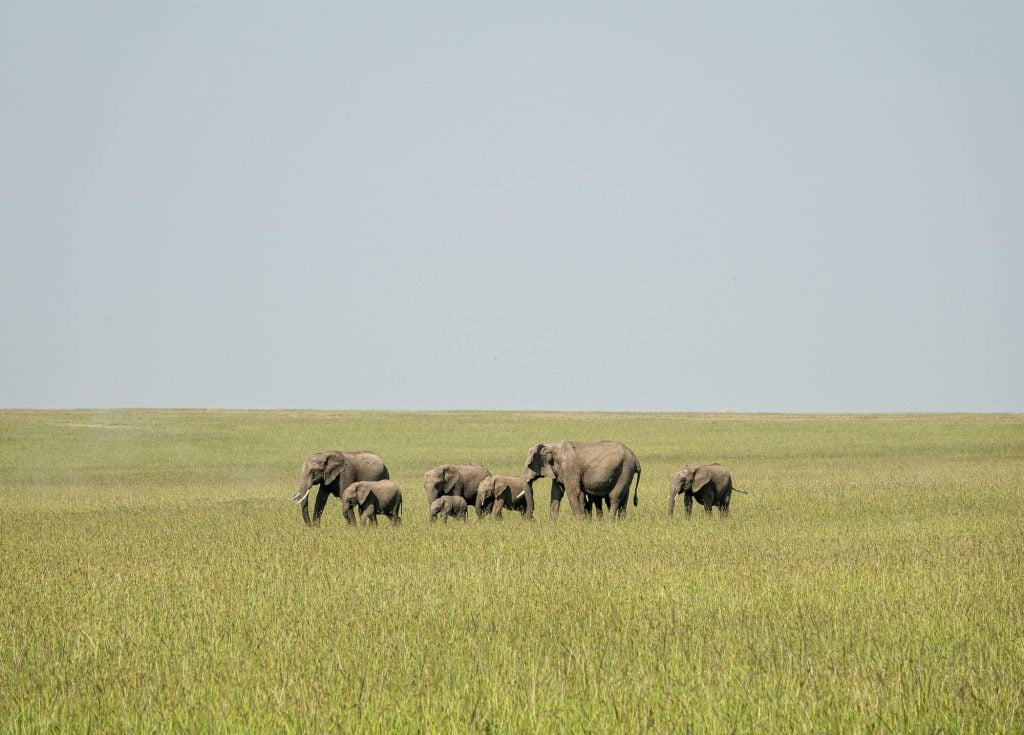 Elephants on migration in a family in the maasai mara