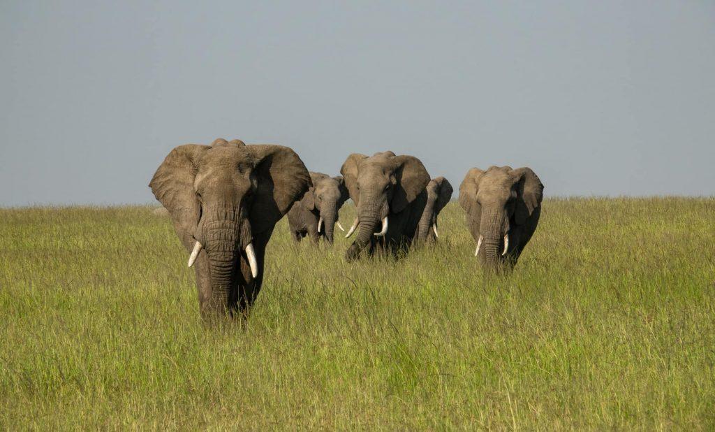 Elephants on safari in the Maasai Mara. Poacher numbers are onn the decline