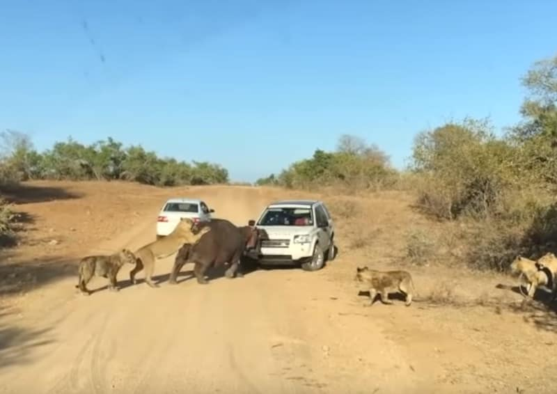 Lion biting a hippo biting a land rover