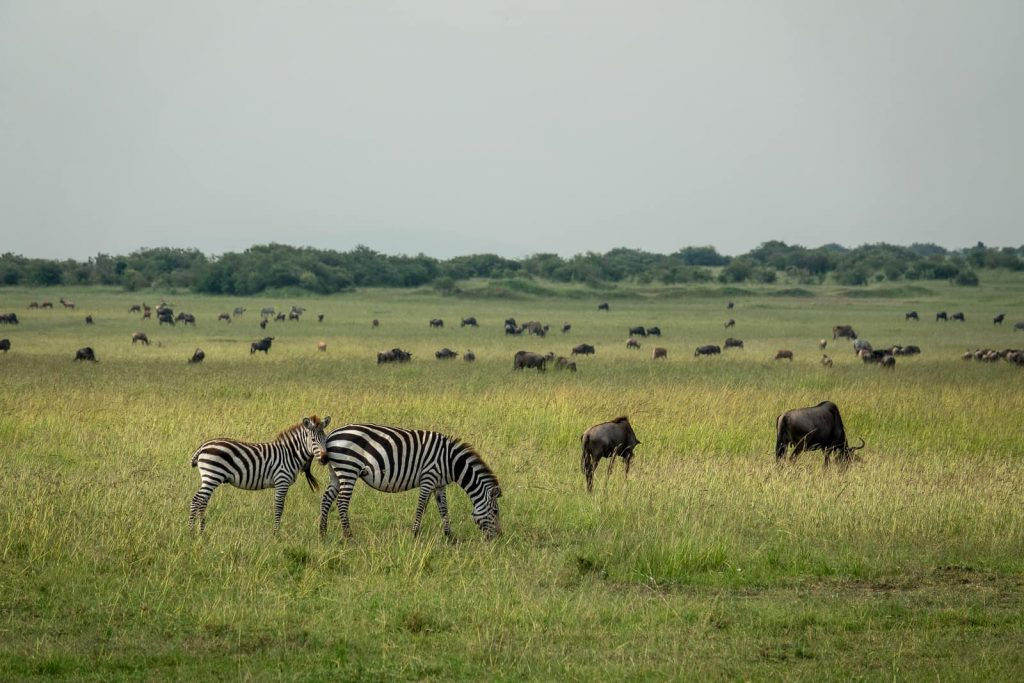 Zebra and wildebeest together in the maasai mara migration