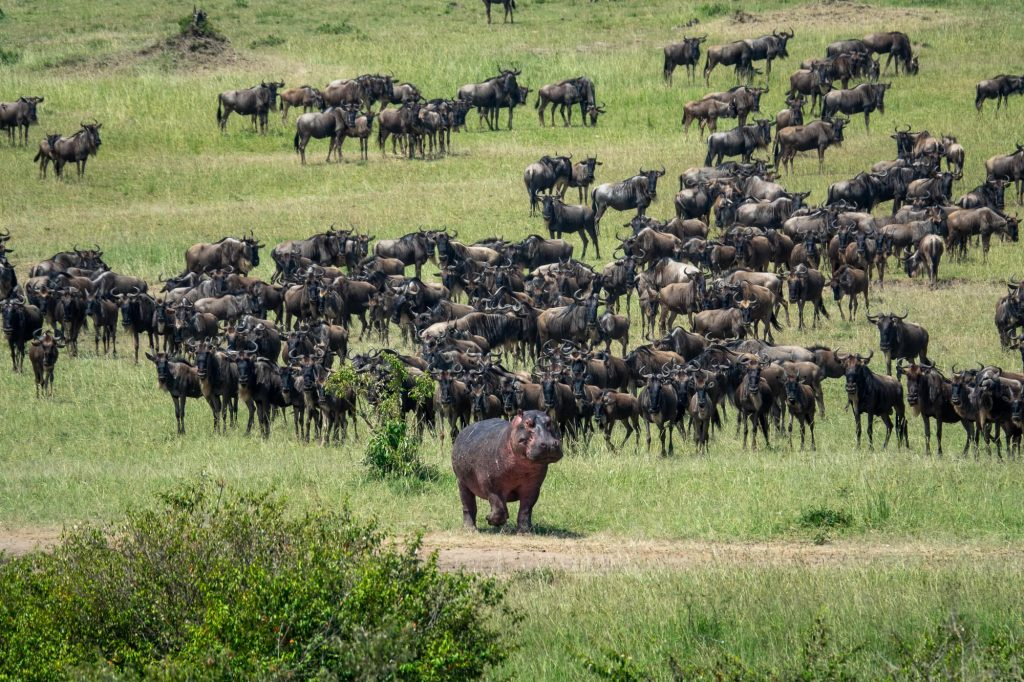 Hippo parading in front of wildebeest/gnu. On safari in Maasai Mara