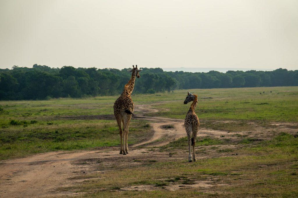 Safari in the Maasai Mara during the wildebeest migration - father-daughter scene