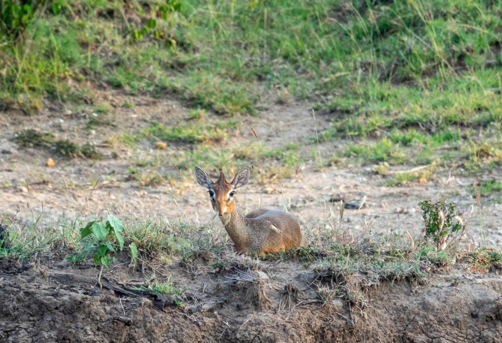 A variety of tiny antelope in the maasai mara