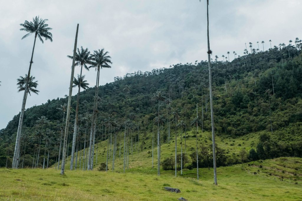 cocora valley tall green palm trees