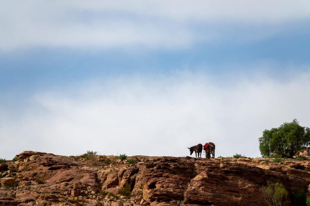 Two donkeys on a hill in Jordan, one of the homes of Levantine Arabic